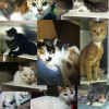 50 Shades of Grey Cats at BARCS