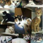 50 Shades of Grey Cats at BARCS