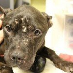 BARCS Raising Money for Sophia, Waiving Adoption Fee in June