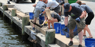 The Great Baltimore Oyster Partnership Surpasses 2.5 Million Oysters Planted in the Patapsco River