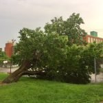 Large Tree Sinks into the Ground and Falls at Riverside Park