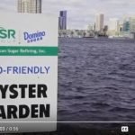 Domino Sugar and Chesapeake Bay Foundation Deliver 116,000 Oysters to Sanctuary Reef