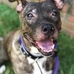 BARCS Adoptable Dogs: Meet Hart