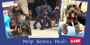 Local Foster Dog Gomez is Raising Money for Front Leg Surgery